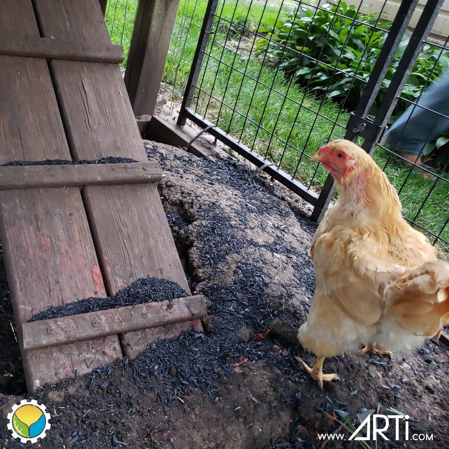 Chicken, 2021